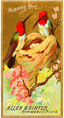Humming Bird Victorian Tobacco Card By Allen And Ginter Poster