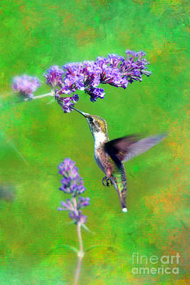 Humming Bird Visit Poster by Lila Fisher-Wenzel