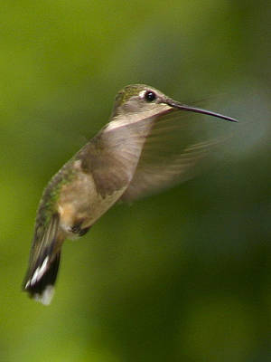 Hummingbird 1 Poster by Fred Baird
