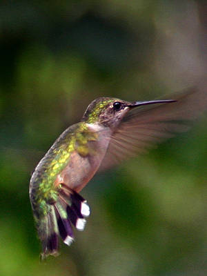 Hummingbird 3 Poster by Fred Baird