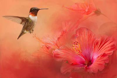 Hummingbird And Peach Hibiscus Poster by Jai Johnson
