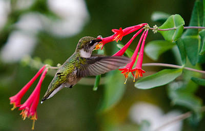 Hummingbird Feeding Poster by Gary Wightman