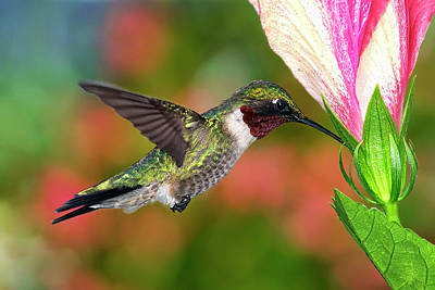 Hummingbird Feeding On Hibiscus Poster