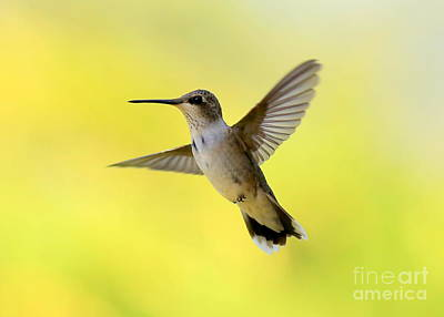 Hummingbird In Yellow Poster