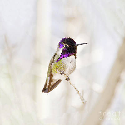 Hummingbird Larger Background Poster by Rebecca Margraf
