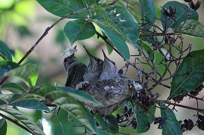 Hummingbird Mom And Chicks Poster by Sree Ram