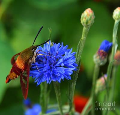 Hummingbird Moth Poster by Marjorie Imbeau