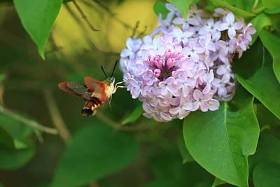 Poster featuring the photograph Hummingbird Moth by Rick Morgan