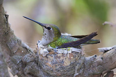 Hummingbird On Nest Poster