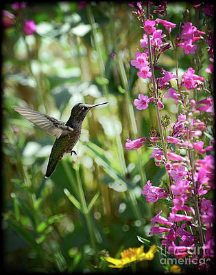 Hummingbird On Perry's Penstemon Poster