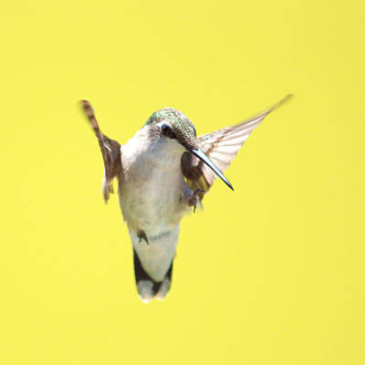Hummingbird On Yellow 2 Poster by Robert  Suits Jr