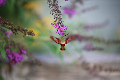 Hummingbird Sphinx Moth Poster by Theresa Campbell