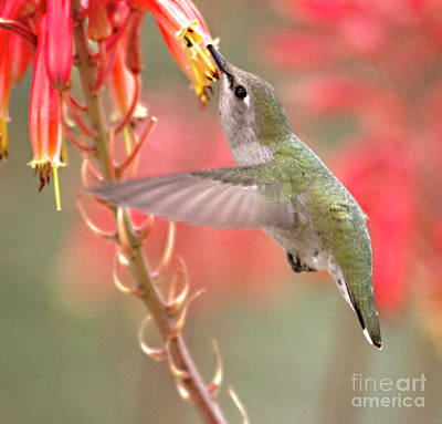 Hummingbird Suspended In Time Poster