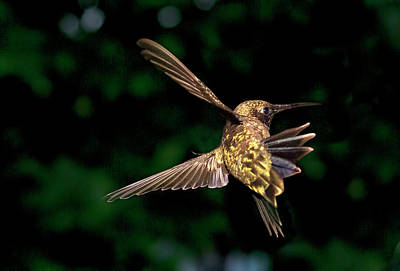 Hummingbird Taking Off Poster