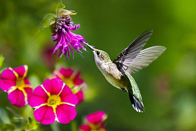 Hummingbird With Flower Poster by Christina Rollo
