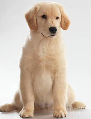Humorous Photo Of Golden Retriever Puppy Poster