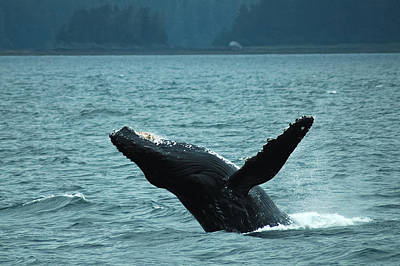 Humpback Breaching Poster by Harry Spitz