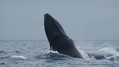 Humpback Whale Breaching Poster by Gary Crockett