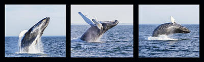 Humpback Whale Breaching Poster by Mircea Costina Photography