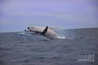 Humpback Whale Breaching Near Puerto Lopez - Ecuador Iv Poster by Al Bourassa