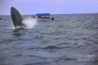 Humpback Whale Breaching Near Puerto Lopez - Ecuador V Poster
