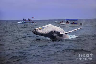 Humpback Whale Breaching Near Puerto Lopez - Ecuador Vi Poster by Al Bourassa