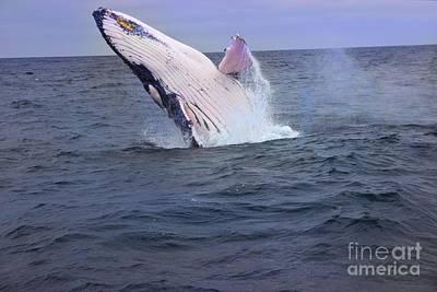 Humpback Whale Breaching Near Puerto Lopez - Ecuador Vii Poster by Al Bourassa
