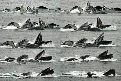 Humpback Whale Bubble-net Feeding Sequence X10 Poster