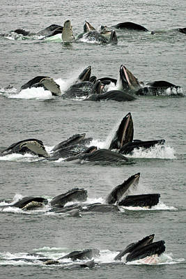 Humpback Whale Bubble-net Feeding Sequence X5 V1 Poster