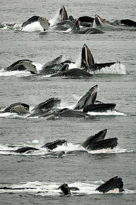Humpback Whale Bubble-net Feeding Sequence X5 V2 Poster