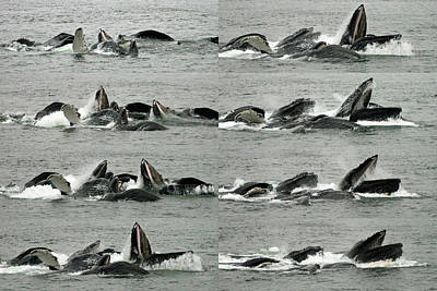Humpback Whale Bubble-net Feeding Sequence X8 Poster