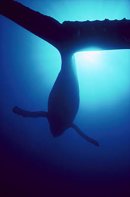 Humpback Whale Megaptera Novaeangliae Poster by Flip Nicklin