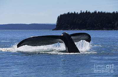 Humpback Whale Tail Poster by John Hyde - Printscapes