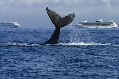 Humpback Whale Tail Lobbing Near Cruise Poster by Flip Nicklin