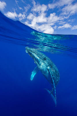 Humpback Whale With Clouds Poster