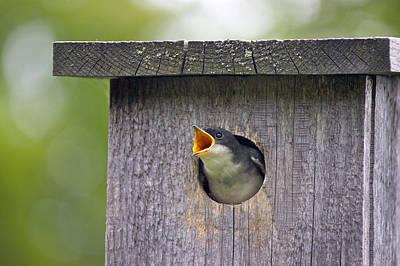 Hungry Baby Bird Poster by Sue Feldberg