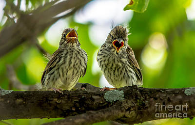 Hungry Chipping Sparrow Fledglings Poster by Cheryl Baxter