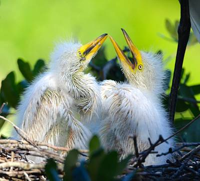 Hungry Egret Chicks Poster