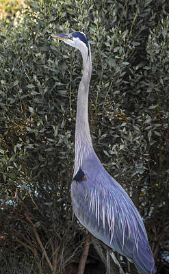 Hungry Heron Poster by Debra Forand