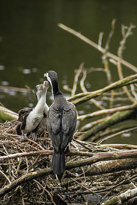 Hungry Pied Shag Chicks Poster