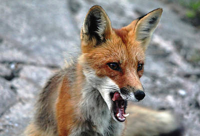 Poster featuring the photograph Hungry Red Fox Portrait by Debbie Oppermann