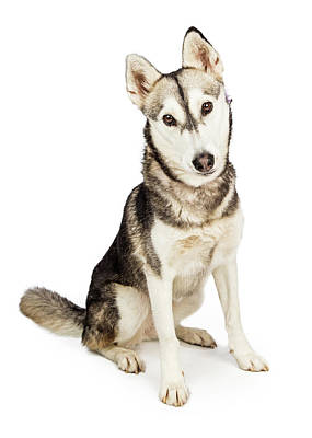 Husky Crossbreed Dog With Attentive Expression Poster