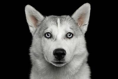 Husky Puppy Poster by Sergey Taran