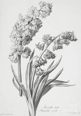 Hyacinth Poster by Gerard van Spaendonck