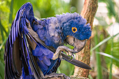 Hyacinth Macaw Poster by Rob Sellers