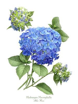 Hydrangea Blue Wave Poster