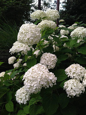 Poster featuring the photograph Hydrangeas by Ferrel Cordle