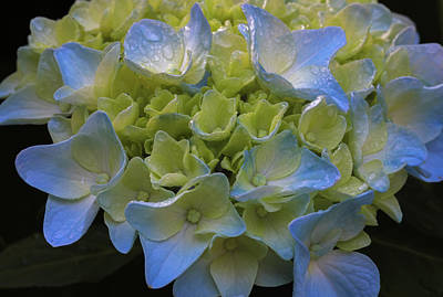 Poster featuring the photograph Hydrangeas Flowers by Juergen Roth