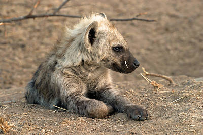 Poster featuring the photograph Hyena by Riana Van Staden