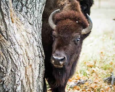 American Bison Peeks Around Tree Poster